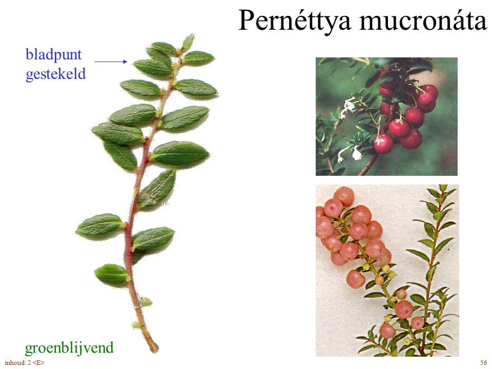 Pernéttya mucronáta bladpunt gestekeld groenblijvend