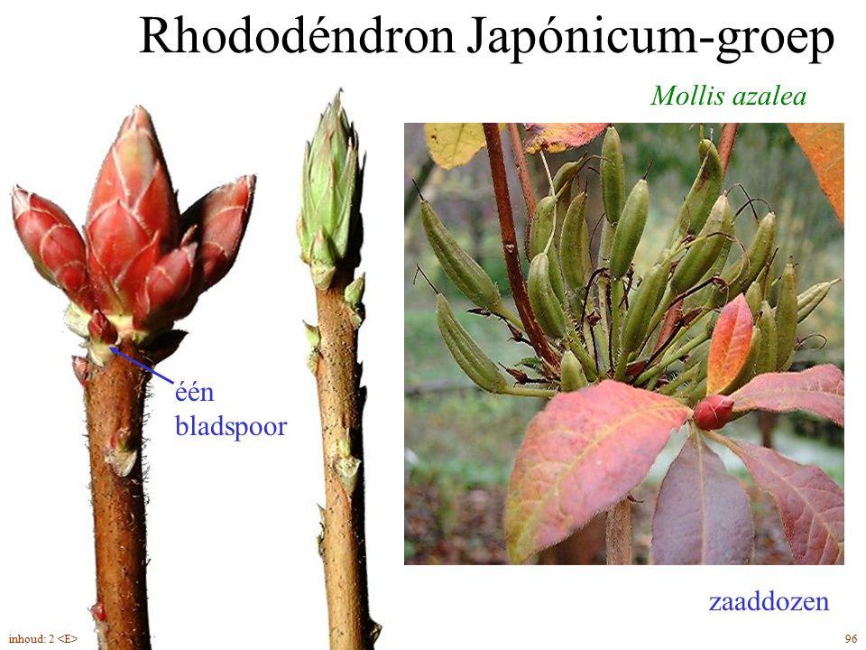 Rhododéndron Japónicum-groep