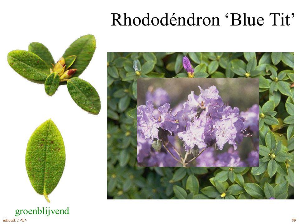 Rhododéndron 'Blue Tit'