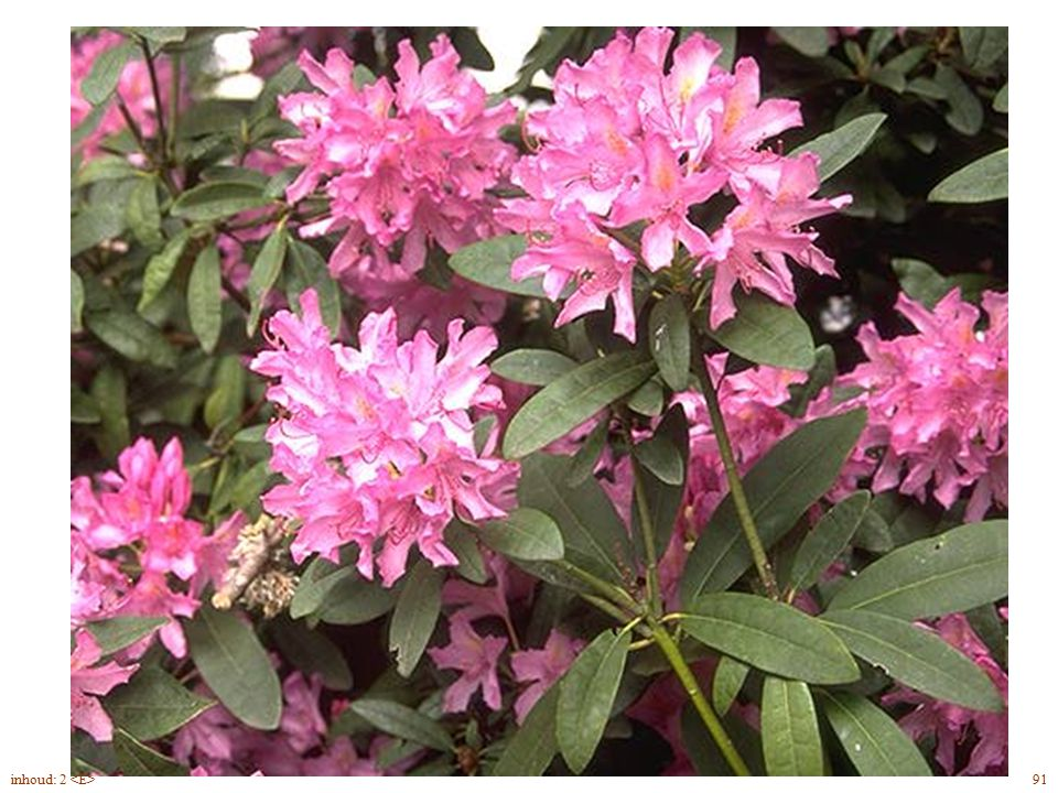 Rhododendron Cataw. bloei