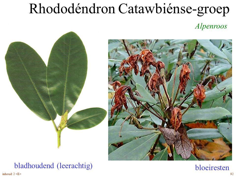 Rhododéndron Catawbiénse-groep