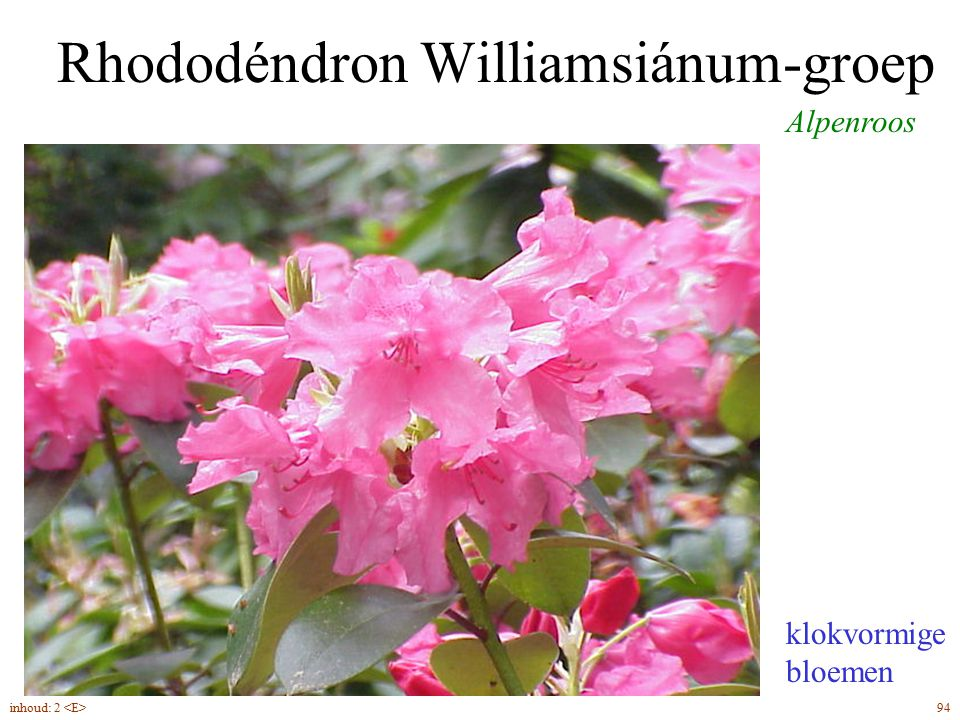 Rhododéndron Williamsiánum-groep