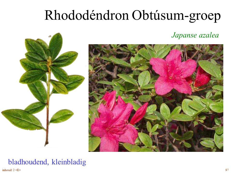 Rhododéndron Obtúsum-groep