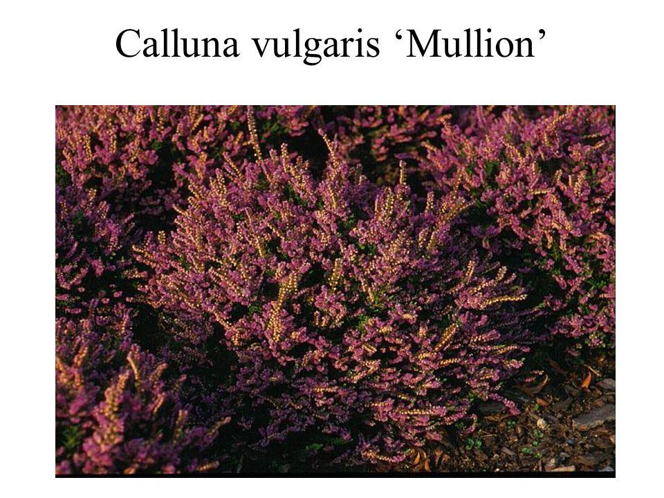Calluna vulgaris 'Mullion'