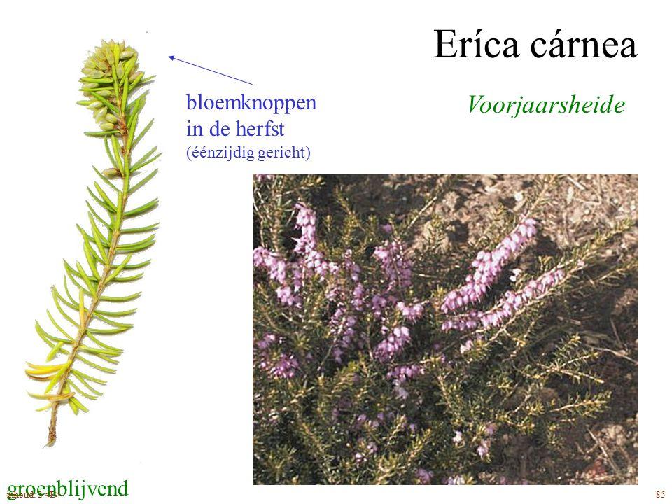 Eríca cárnea Voorjaarsheide bloemknoppen in de herfst buisbloemen
