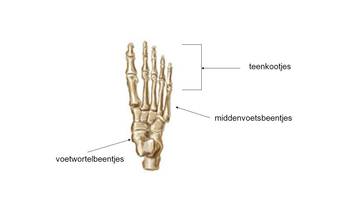 teenkootjes middenvoetsbeentjes voetwortelbeentjes
