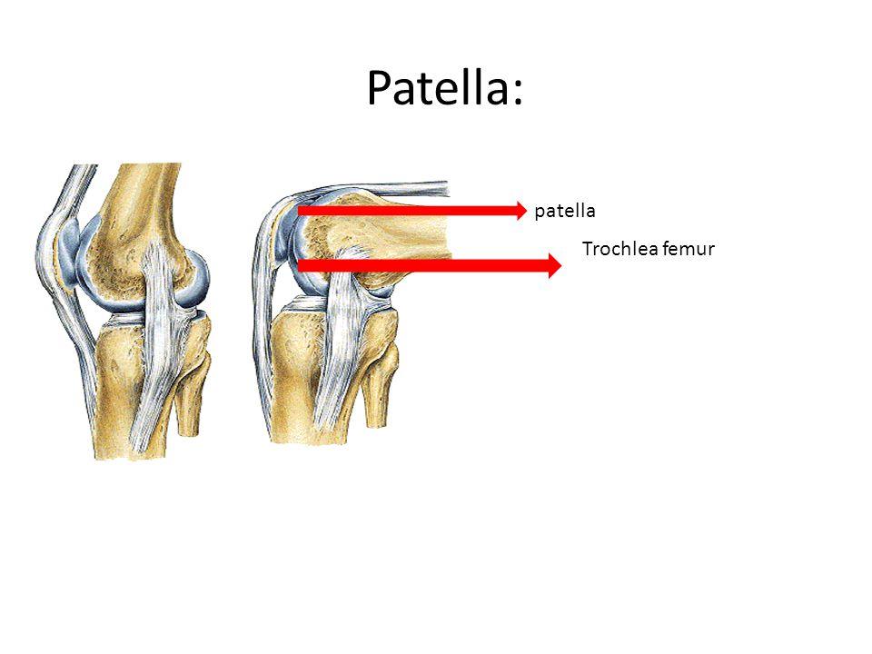 Patella: patella Trochlea femur
