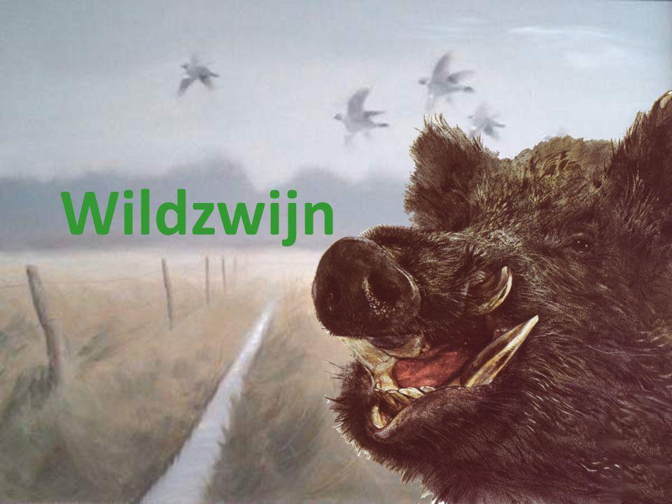 Wildzwijn