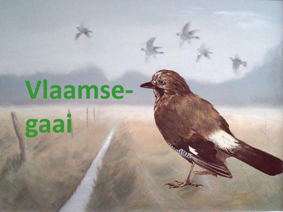 Vlaamse- gaai