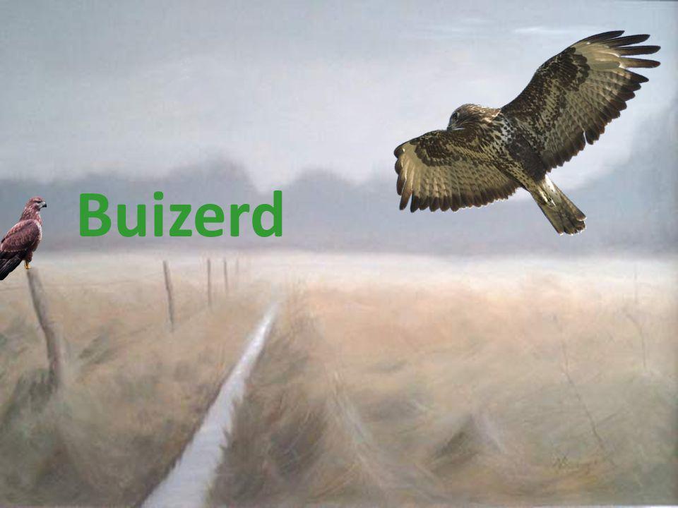 Buizerd