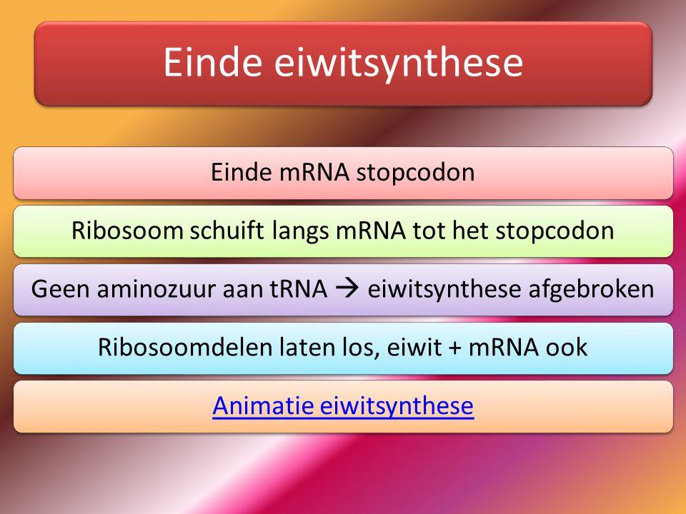 Einde eiwitsynthese Einde mRNA stopcodon