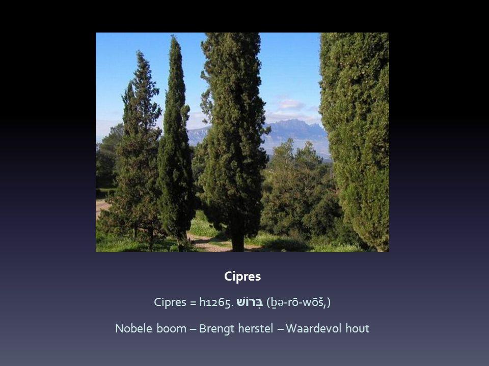 Cipres Cipres = h1265. בְּרוֹשׁ (ḇə-rō-wōš,)