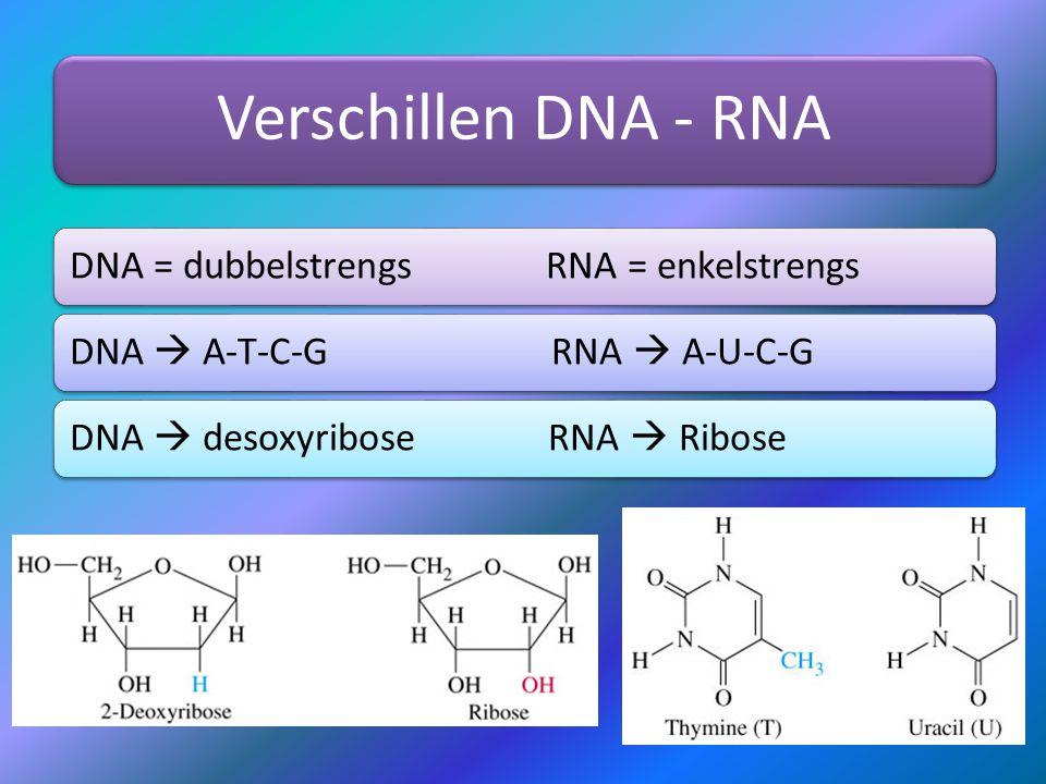 Verschillen DNA - RNA DNA = dubbelstrengs RNA = enkelstrengs