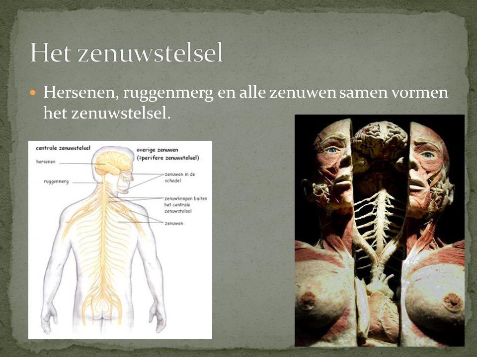 Het zenuwstelsel Hersenen, ruggenmerg en alle zenuwen samen vormen het zenuwstelsel.