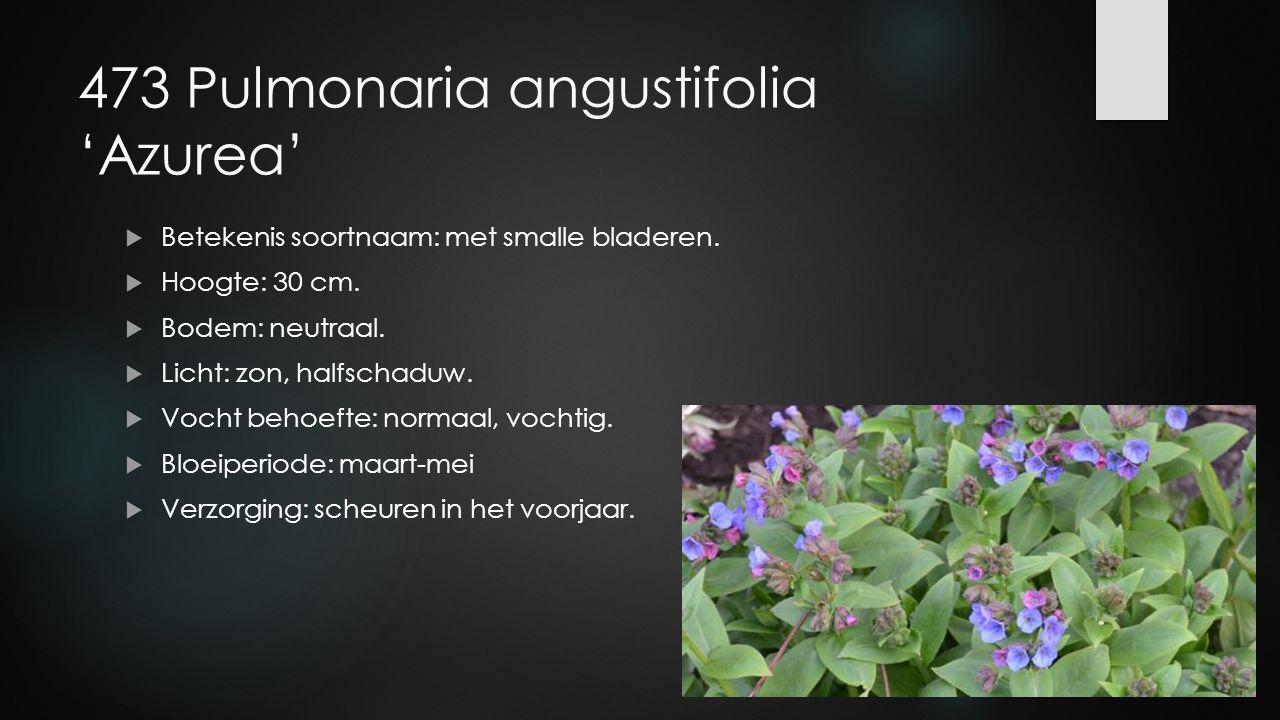 473 Pulmonaria angustifolia 'Azurea'