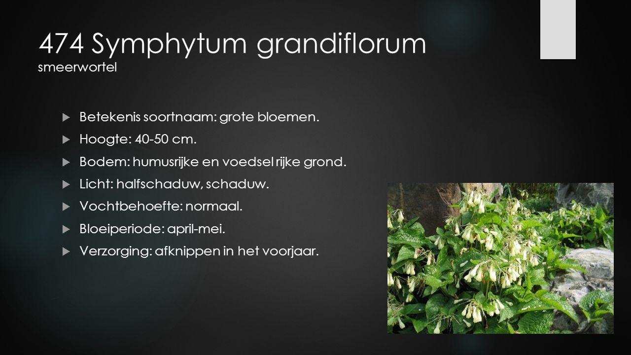 474 Symphytum grandiflorum smeerwortel