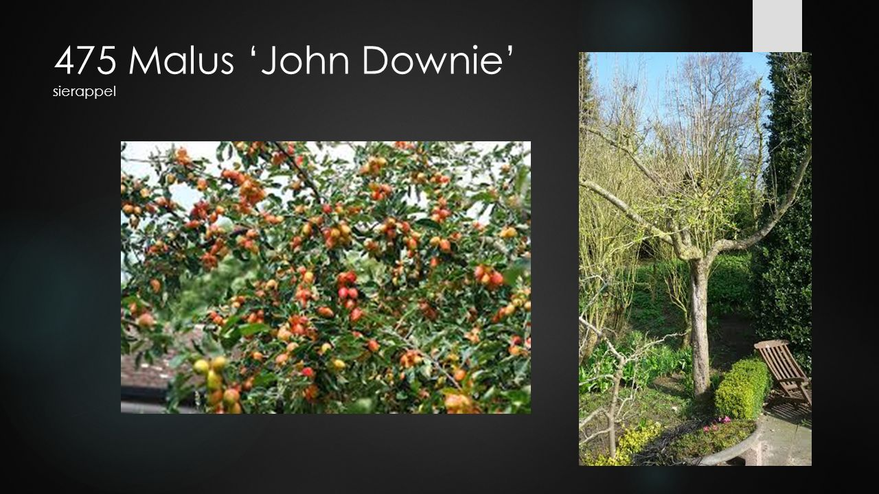 475 Malus 'John Downie' sierappel