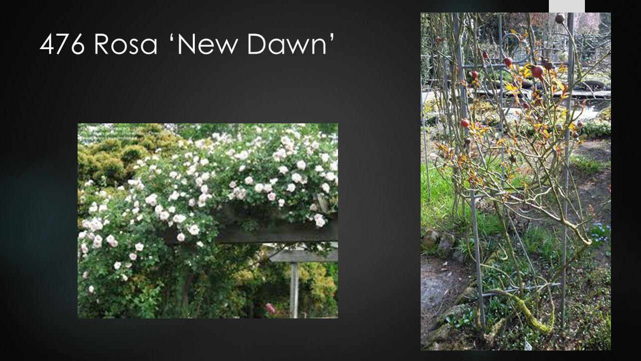 476 Rosa 'New Dawn'