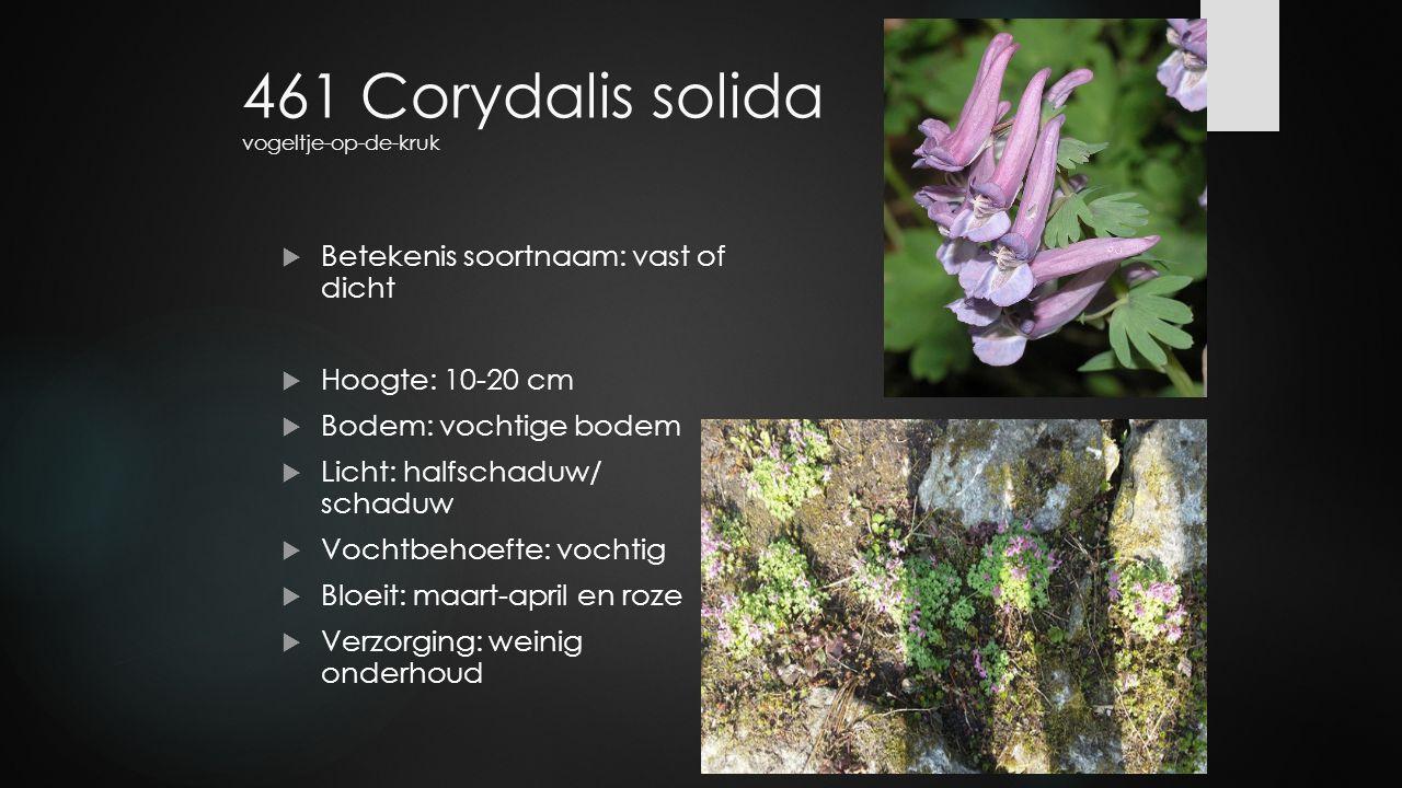 461 Corydalis solida vogeltje-op-de-kruk