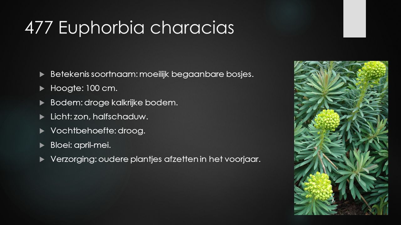 477 Euphorbia characias Betekenis soortnaam: moeilijk begaanbare bosjes. Hoogte: 100 cm. Bodem: droge kalkrijke bodem.