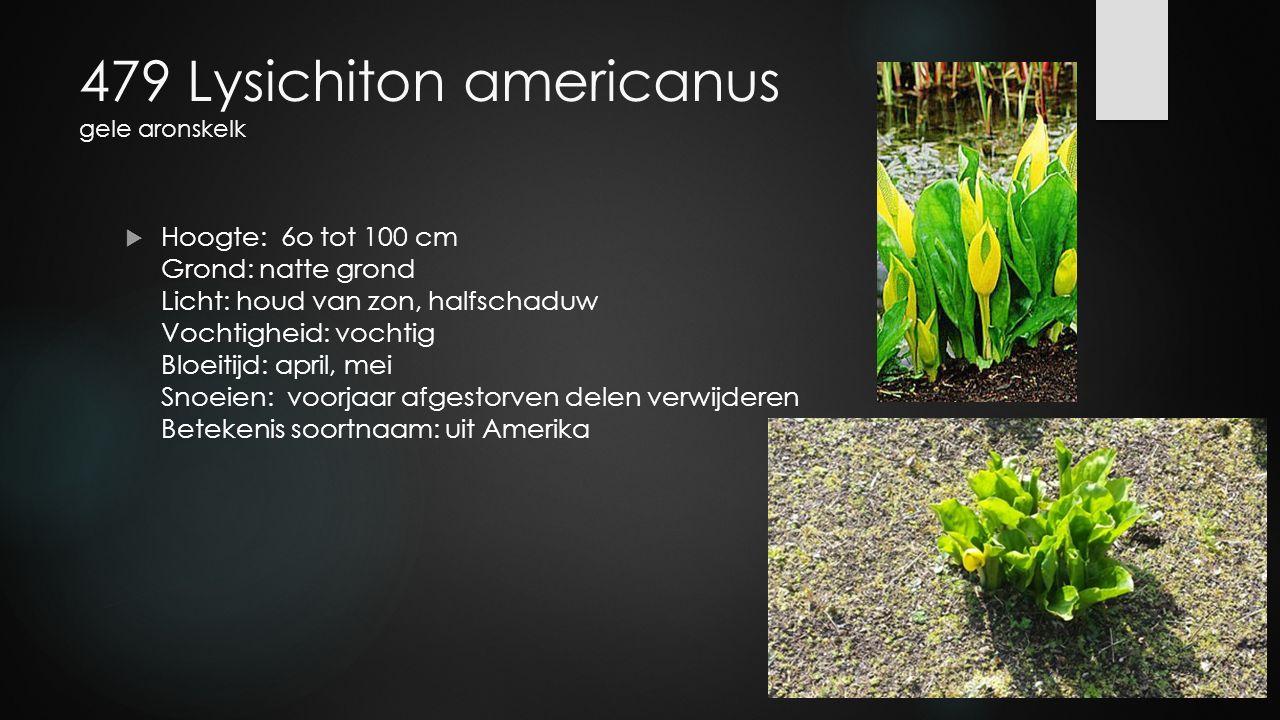 479 Lysichiton americanus gele aronskelk