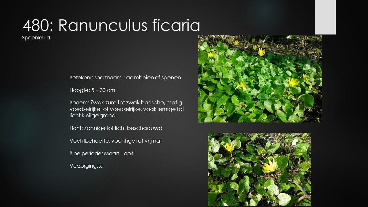 480: Ranunculus ficaria Speenkruid