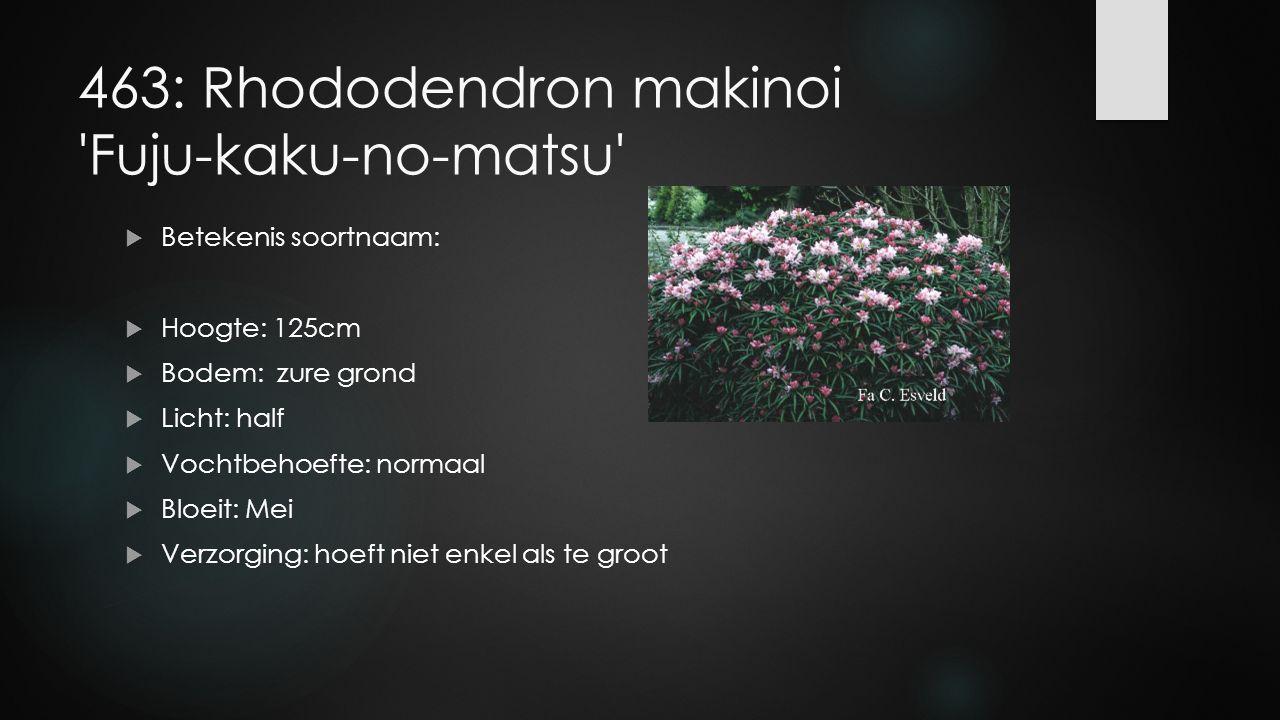 463: Rhododendron makinoi Fuju-kaku-no-matsu