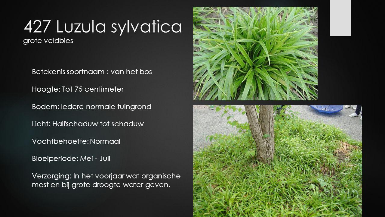 427 Luzula sylvatica grote veldbies