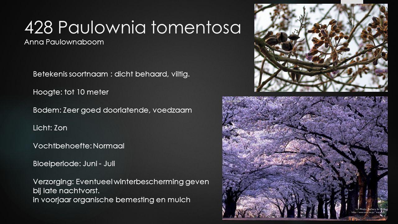428 Paulownia tomentosa Anna Paulownaboom