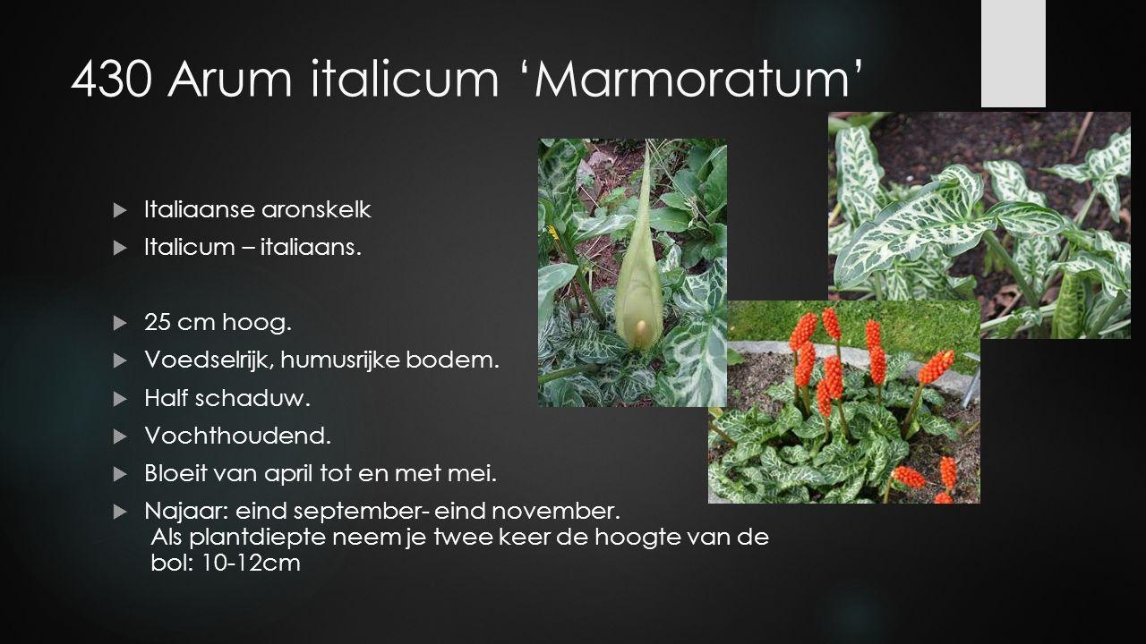 430 Arum italicum 'Marmoratum'