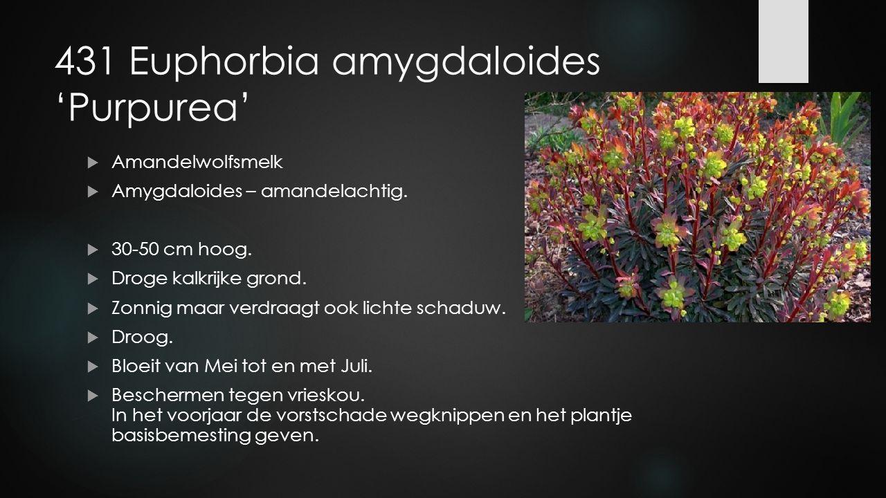 431 Euphorbia amygdaloides 'Purpurea'