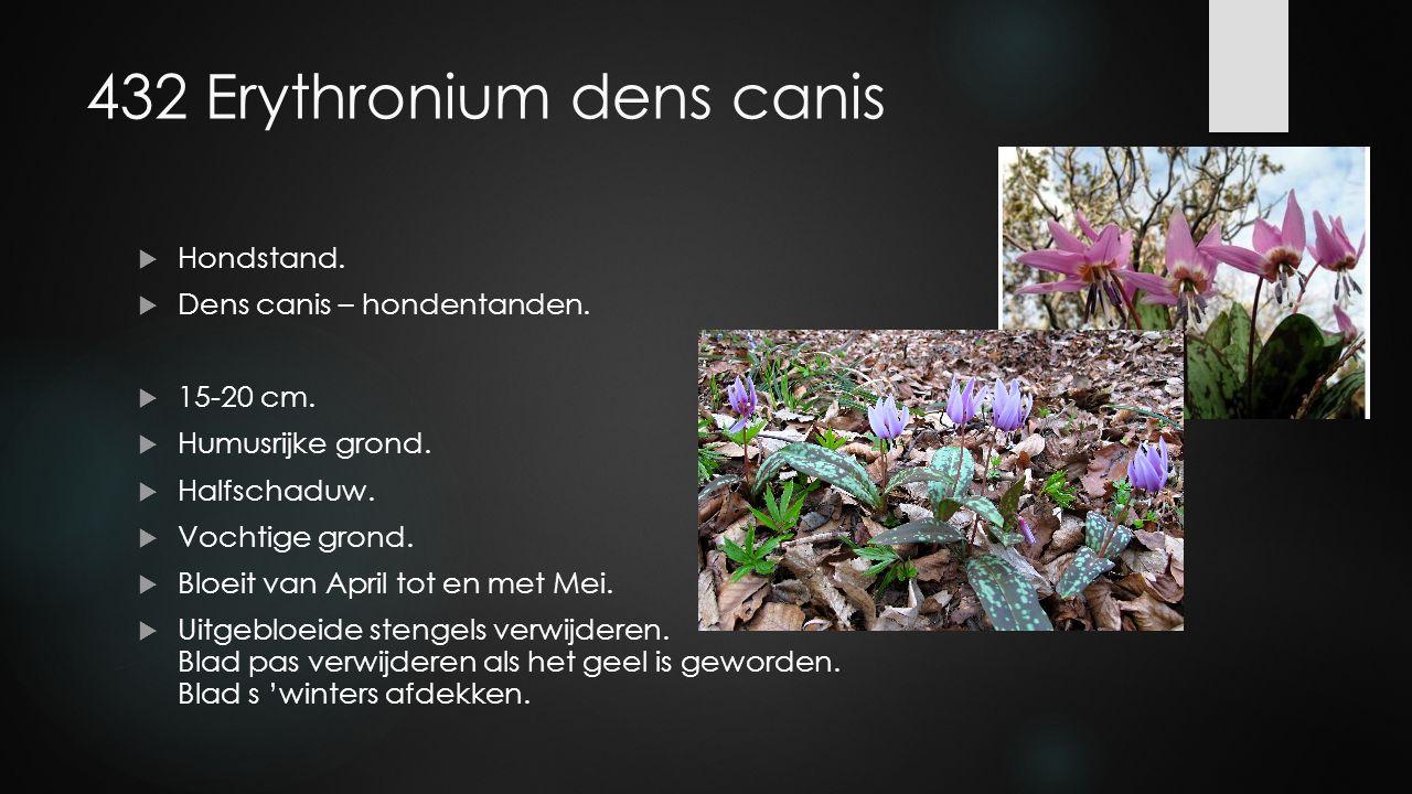 432 Erythronium dens canis