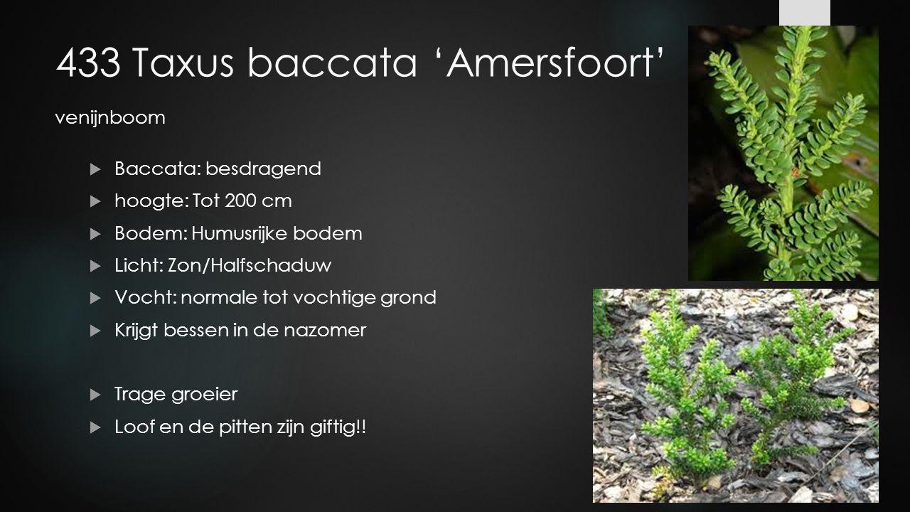 433 Taxus baccata 'Amersfoort' venijnboom