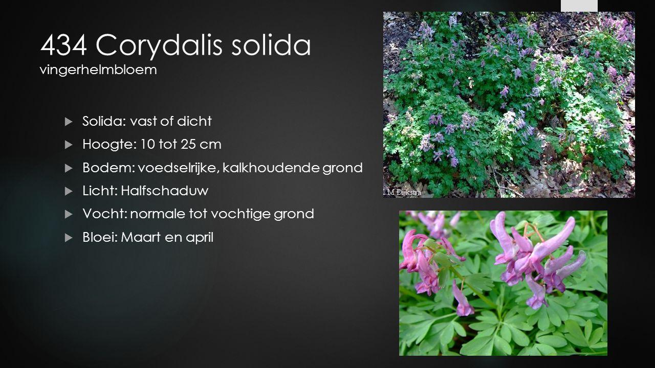 434 Corydalis solida vingerhelmbloem