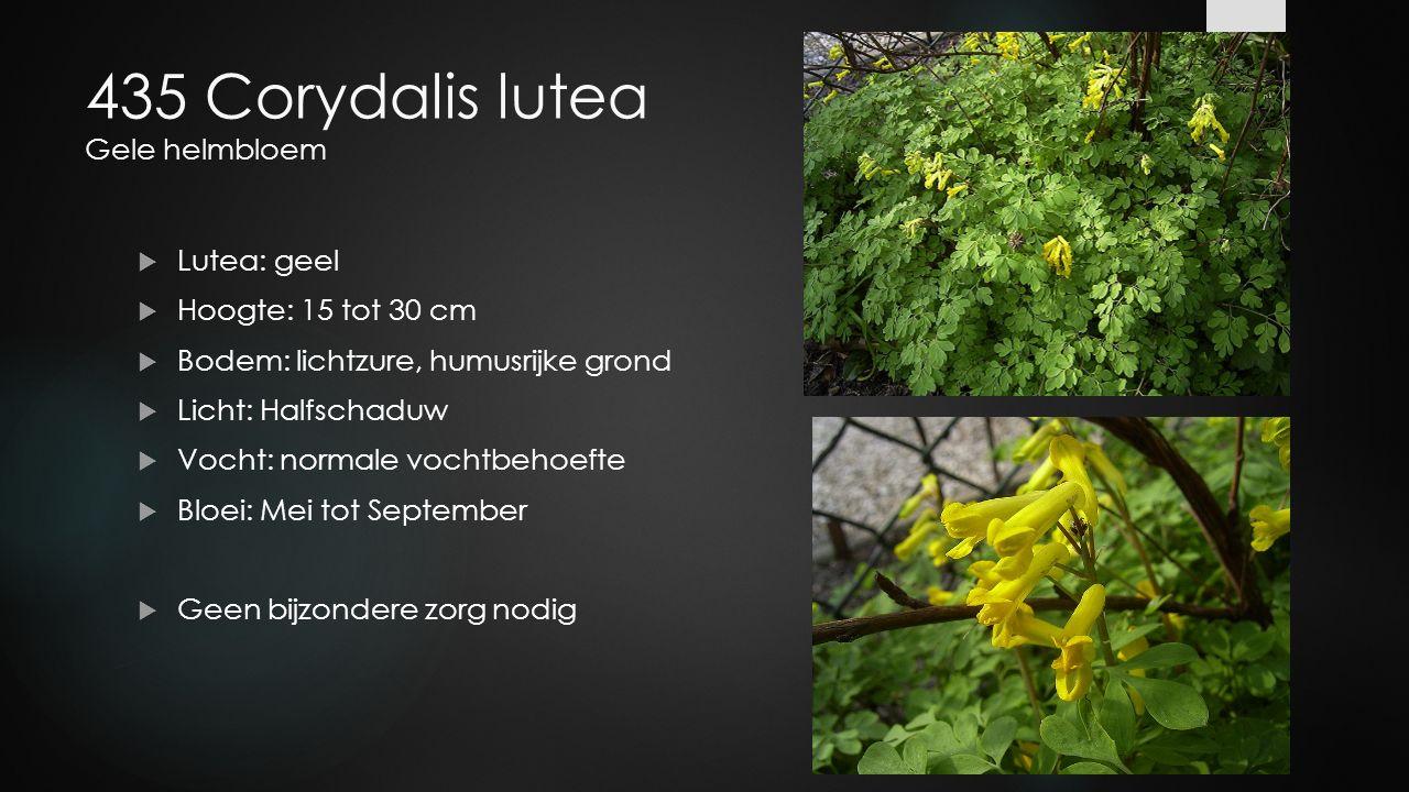 435 Corydalis lutea Gele helmbloem