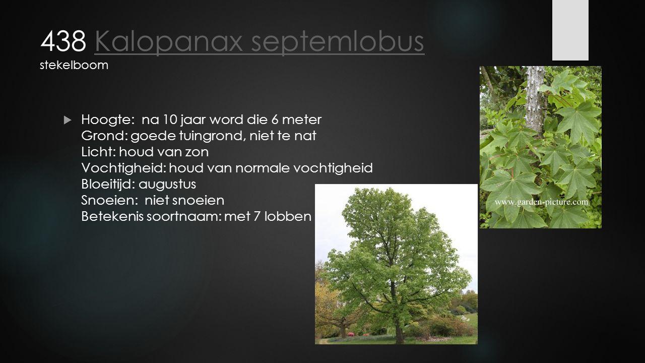 438 Kalopanax septemlobus stekelboom