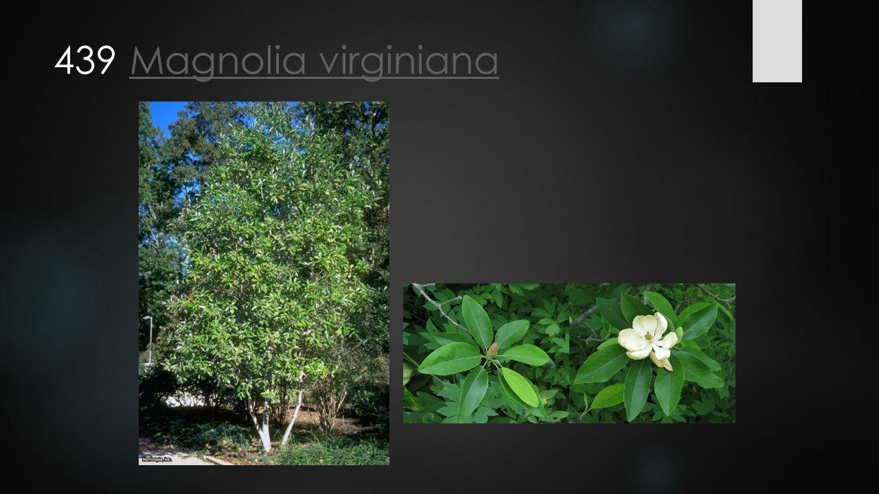 439 Magnolia virginiana