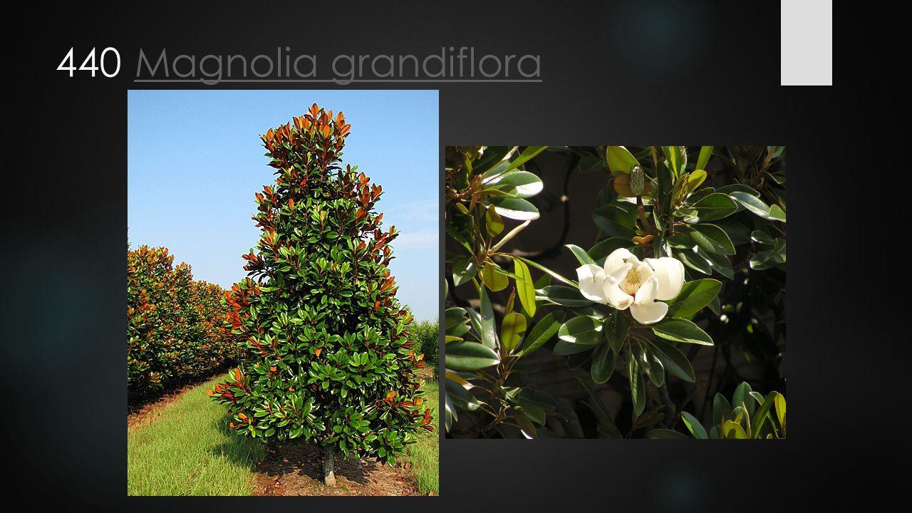 440 Magnolia grandiflora
