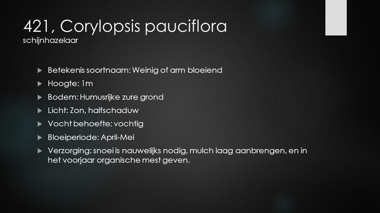 421, Corylopsis pauciflora schijnhazelaar
