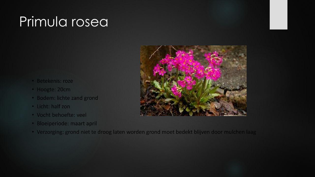 Primula rosea