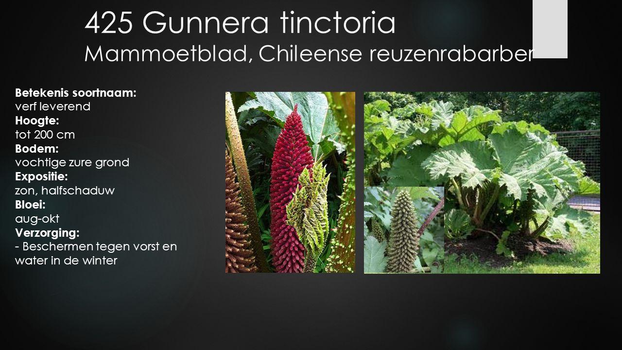 425 Gunnera tinctoria Mammoetblad, Chileense reuzenrabarber