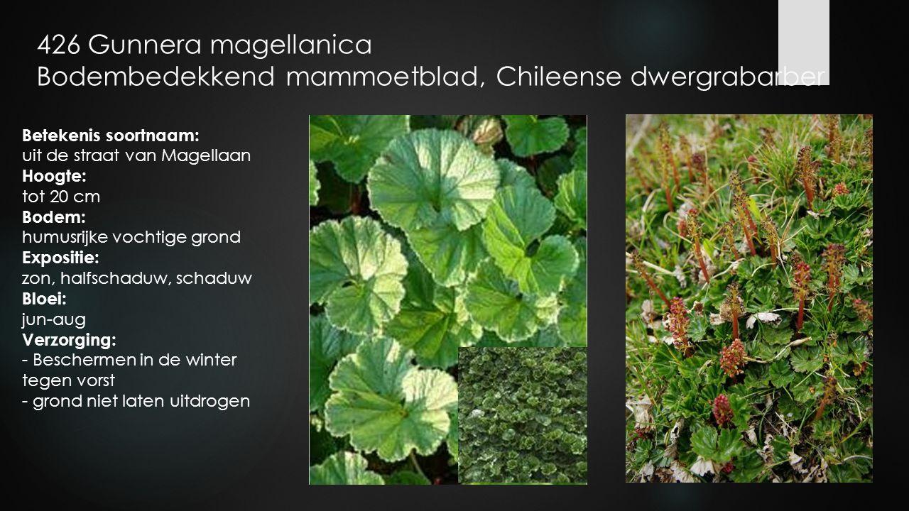 426 Gunnera magellanica Bodembedekkend mammoetblad, Chileense dwergrabarber