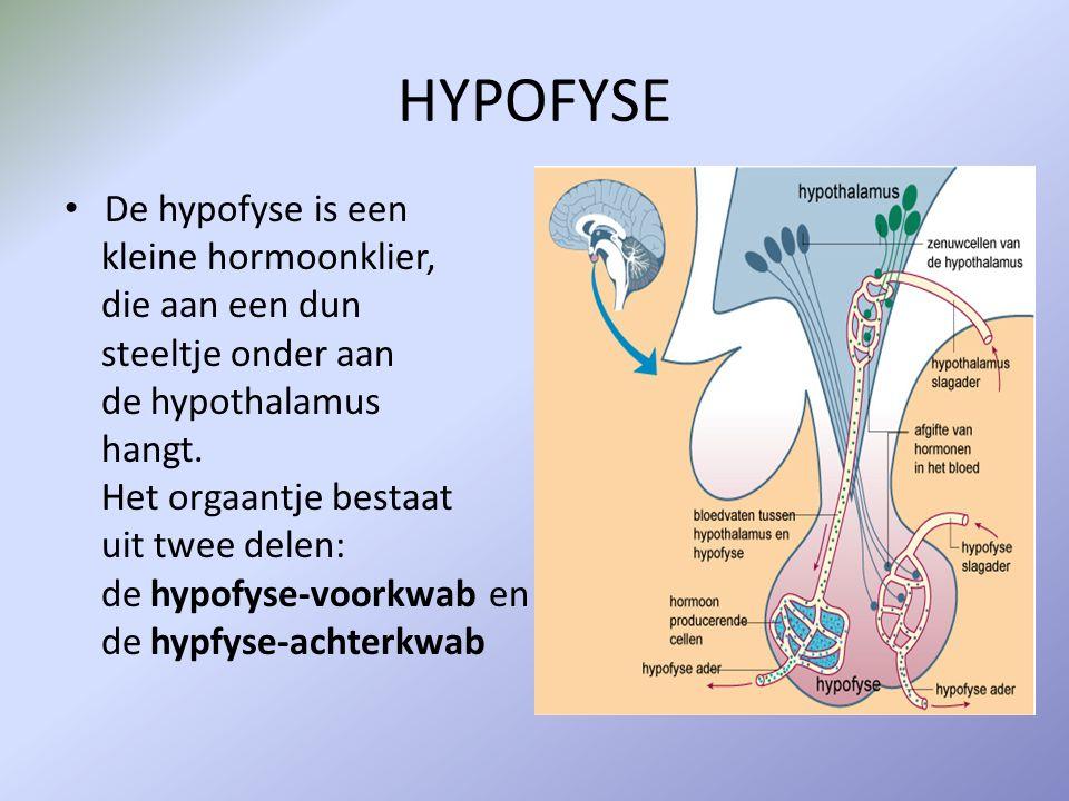 HYPOFYSE De hypofyse is een kleine hormoonklier, die aan een dun