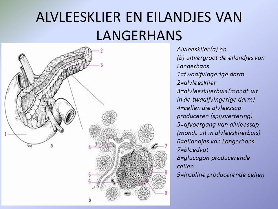 ALVLEESKLIER EN EILANDJES VAN LANGERHANS