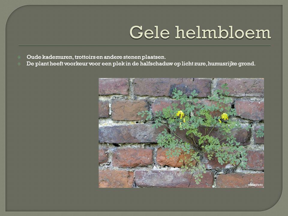 Gele helmbloem Oude kademuren, trottoirs en andere stenen plaatsen.