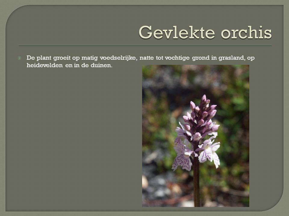Gevlekte orchis De plant groeit op matig voedselrijke, natte tot vochtige grond in grasland, op heidevelden en in de duinen.