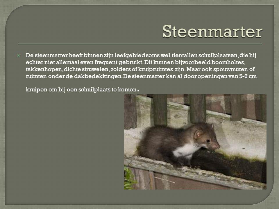 Steenmarter