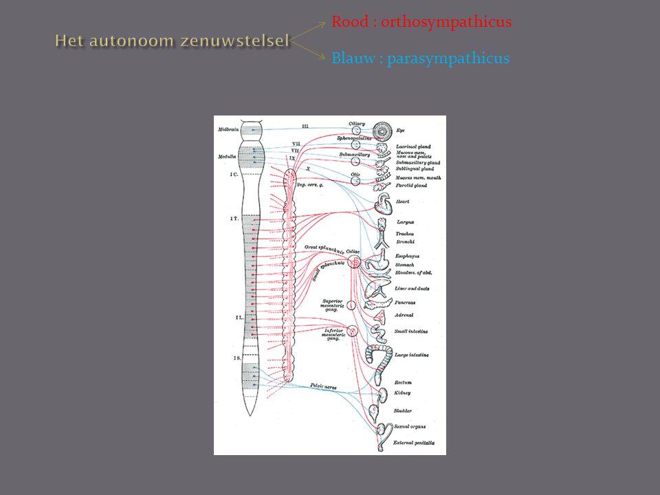 Het autonoom zenuwstelsel