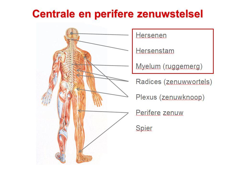 Centrale en perifere zenuwstelsel