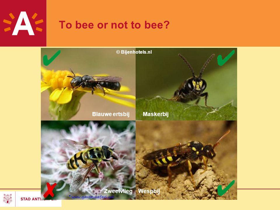 To bee or not to bee Blauwe ertsbij Maskerbij Zweefvlieg Wespbij 2